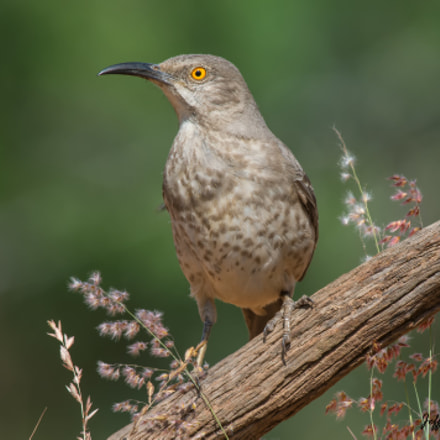 Curve Billed Thrasher, Nikon D7100, AF-S Nikkor 300mm f/4D IF-ED