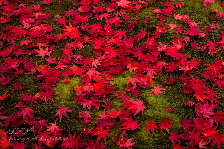 Photograph Red Maple by Yoshitada Kurozumi on 500px
