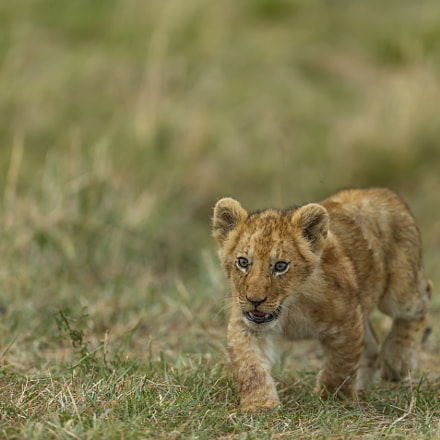 Curious cub, Canon EOS 5D MARK III, Canon EF 400mm f/2.8L IS II USM