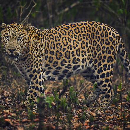 LEOPORD, Canon EOS 5D MARK III, Canon EF 400mm f/2.8L IS II USM