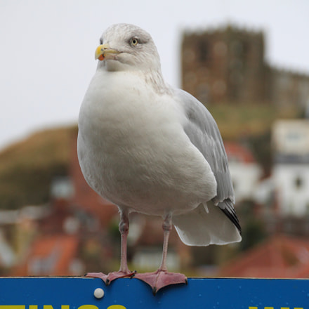 Seagull at Whitby, Canon EOS 7D, Sigma 18-200mm f/3.5-6.3 DC OS HSM [II]
