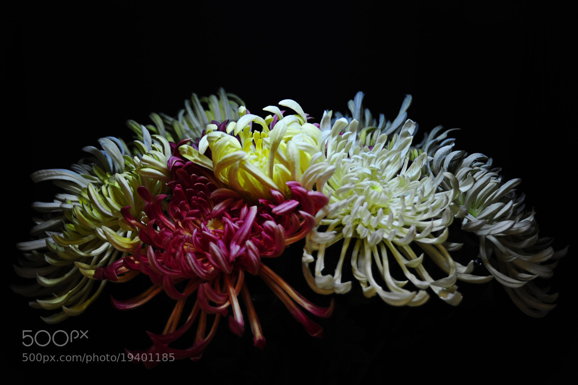Photograph Chrysanthemum by Ha Hieu on 500px