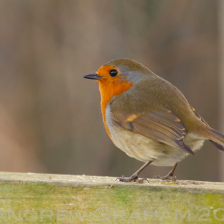 Winters Robin, Canon EOS-1D MARK IV, Canon EF 100-400mm f/4.5-5.6L IS