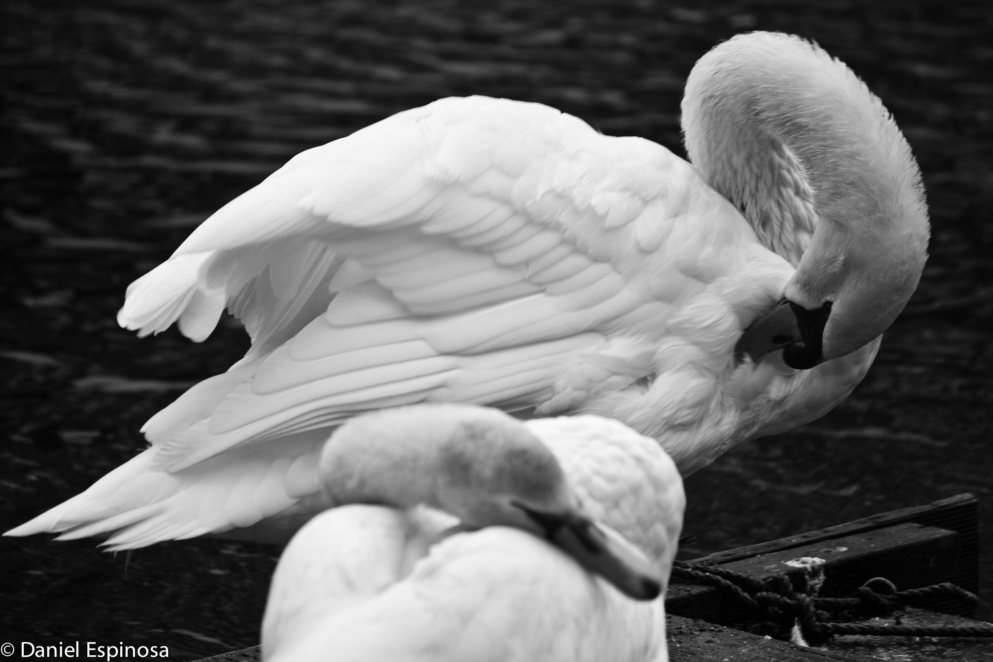 Photograph SWANS by Daniel Espinosa on 500px