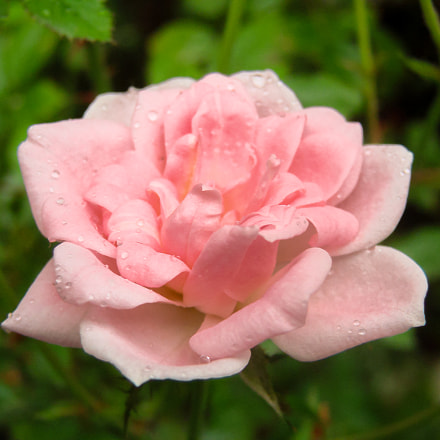 Rose After the Rain, Sony DSC-H5