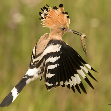 Wiedehopf / Hoopoe , Canon EOS-1D X MARK II, Canon EF 300mm f/2.8L IS