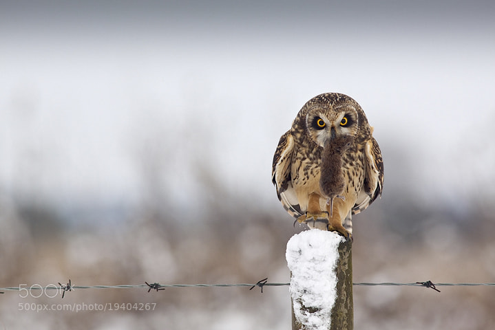 Photograph Short-Eared Owl with Vole by Jamie Hall on 500px