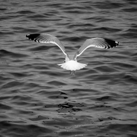 Black-backed gull, Canon EOS KISS X8I, Canon EF-S 55-250mm f/4-5.6 IS STM