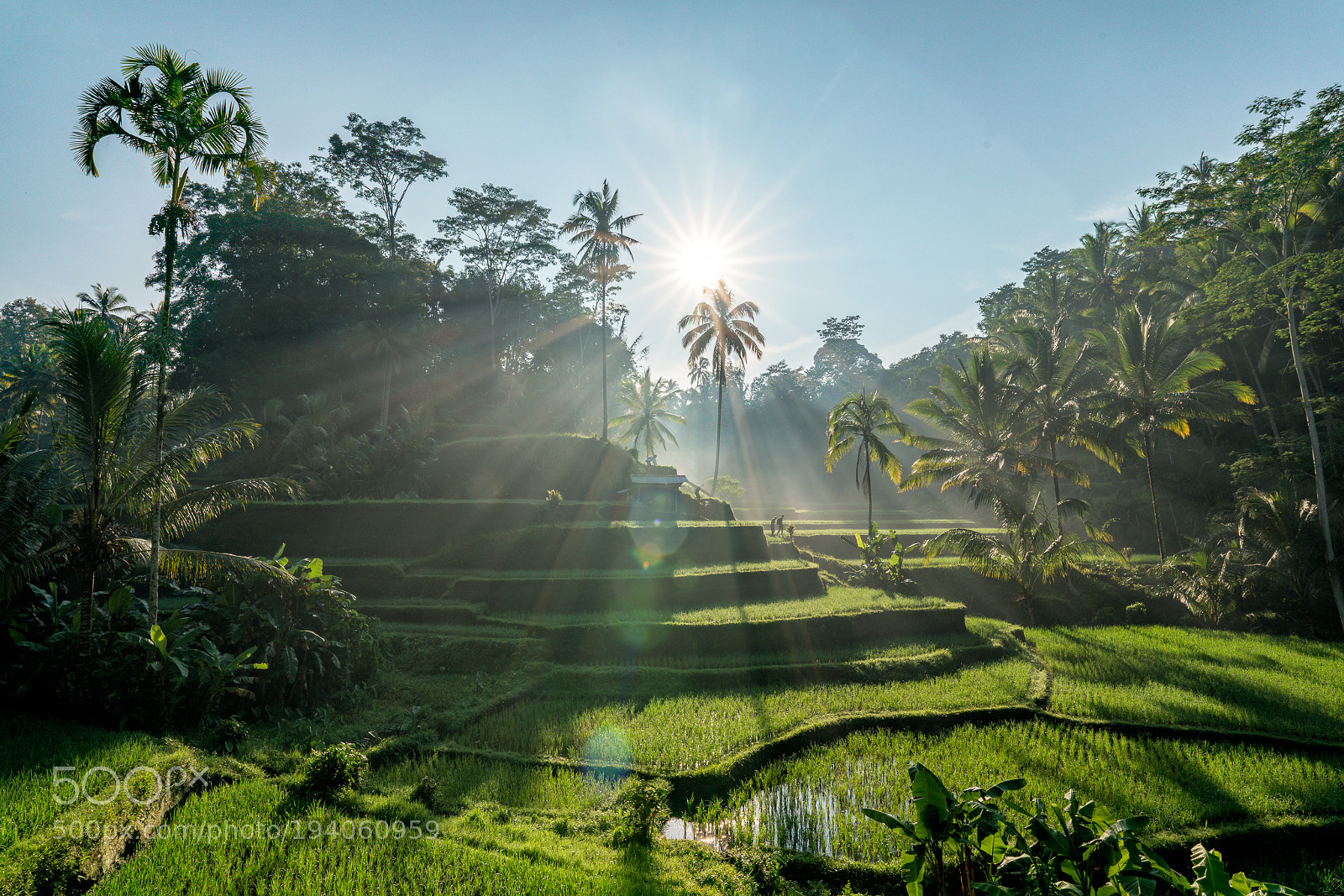 Sunrise Rice Paddies, Sony ILCE-7RM2, 20mm F1.4 DG HSM | Art 015