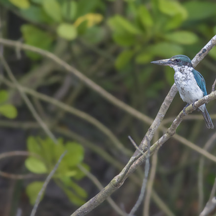 Collared Kingfisher (Todiramphus chloris), Nikon D7100, AF-S Nikkor 300mm f/4D IF-ED