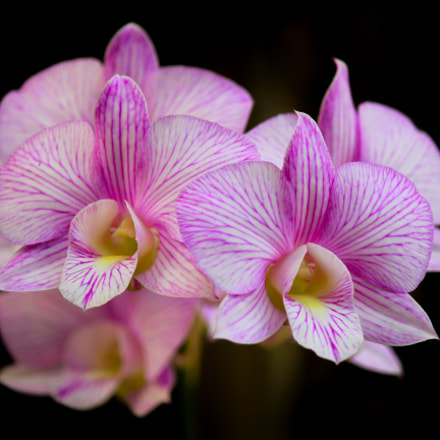 Orchids, Canon EOS KISS X4, Canon EF-S 55-250mm f/4-5.6 IS II
