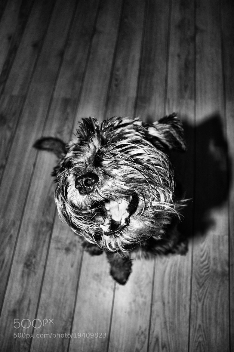 Photograph Schnauzer by Rasmus Lundin on 500px