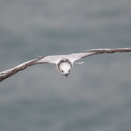 Kittiwake, Nikon D500, AF-S Nikkor 300mm f/4D IF-ED