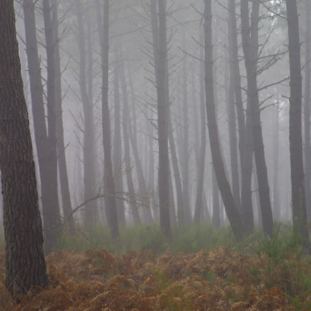 Pines in the mist, Canon EOS D30, Canon EF 28-105mm f/3.5-4.5 USM