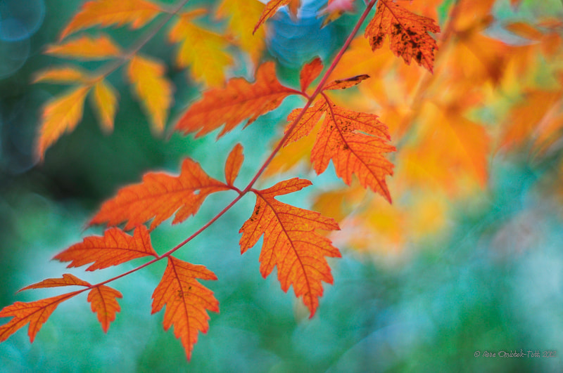 Photograph Koelreuteria paniculata leaves by Anna Omiotek-Tott on 500px