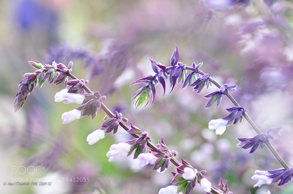 Photograph Salvia 'Waverly' by Anna Omiotek-Tott on 500px