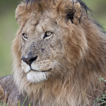 My Lion in kenya, Canon EOS 40D, Canon EF 500mm f/4L IS