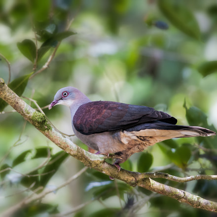 Mountain Imperial Pigeon, Nikon D300, AF-S Nikkor 300mm f/4D IF-ED