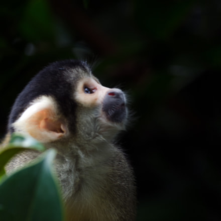 Bolivian black-capped Squirrel Monkey, Nikon D7000, AF-S Nikkor 300mm f/4D IF-ED