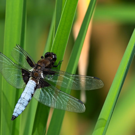 Broad-bodied chaser dragonfly, male, Nikon D610, AF-S Nikkor 300mm f/4D IF-ED