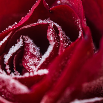 ice on a rose, Sony SLT-A58, Tamron SP 90mm F2.8 Di Macro 1:1 USD