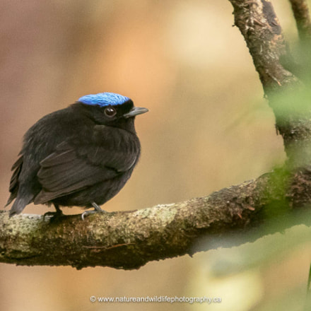 Blue-crowned Manakin, Canon EOS 5DS, Sigma 150-600mm f/5-6.3 DG OS HSM | C