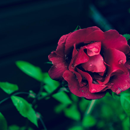 Single rose, Nikon D90, Sigma 18-50mm F3.5-5.6 DC