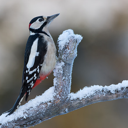Great Spotted Woodpecker!, Canon EOS 7D MARK II, Canon EF 500mm f/4L IS