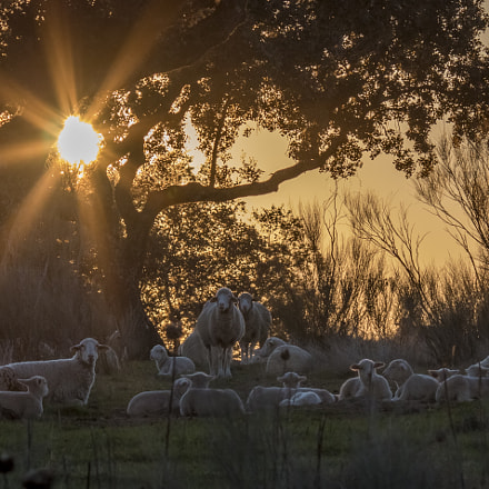 Winter Sunset Sheeps, Canon EOS 70D, Canon EF 135mm f/2L