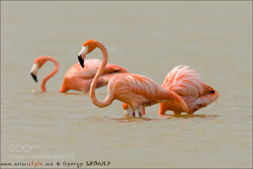 Photograph American Flamingo (Phoenicopterus ruber) by Gyorgy Szimuly on 500px