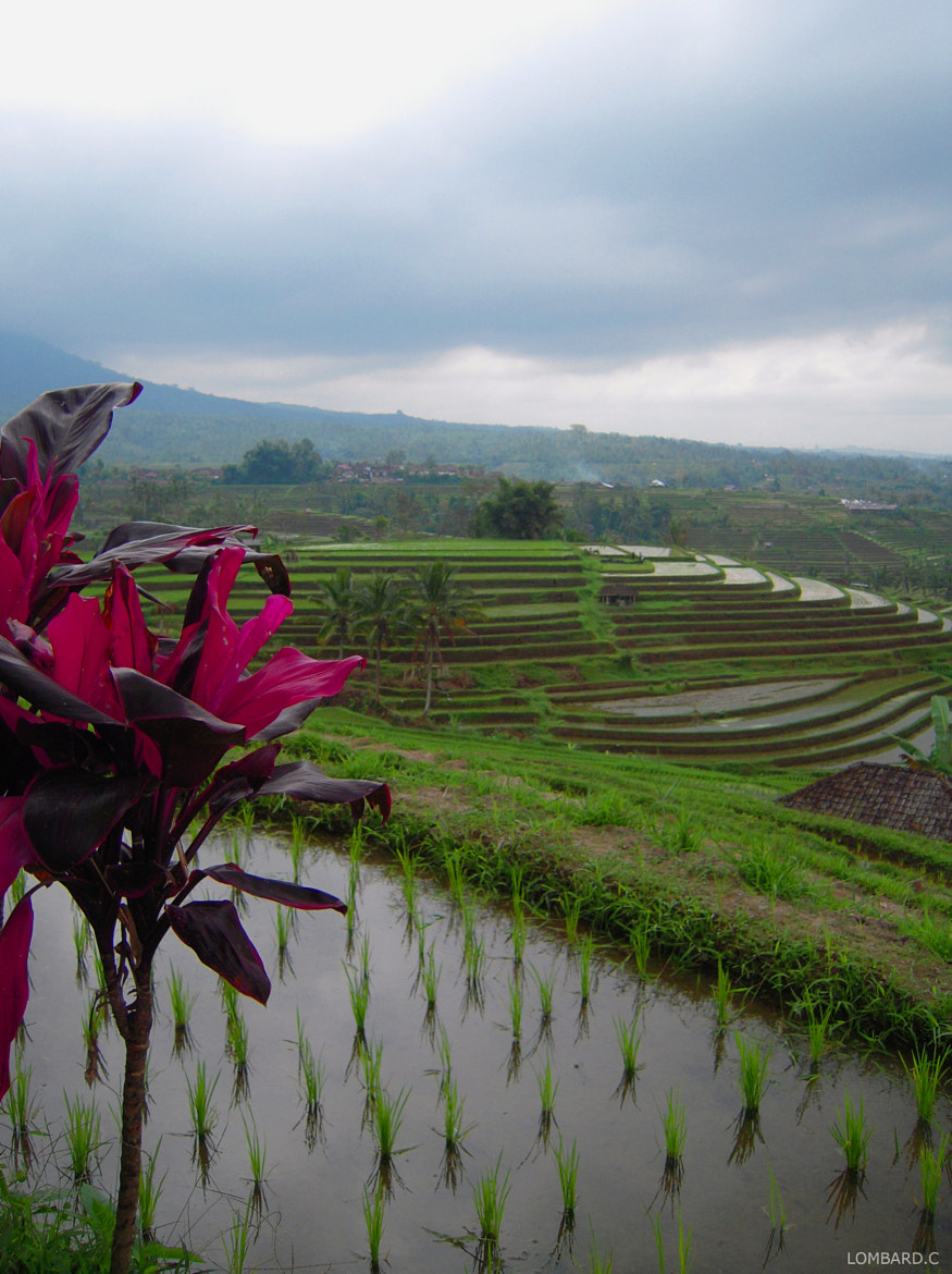 Photograph Ricefield by Claire Lombard on 500px