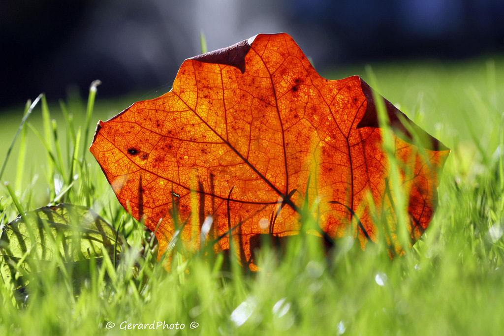 Photograph Magic Leaf by Gerard Photo on 500px