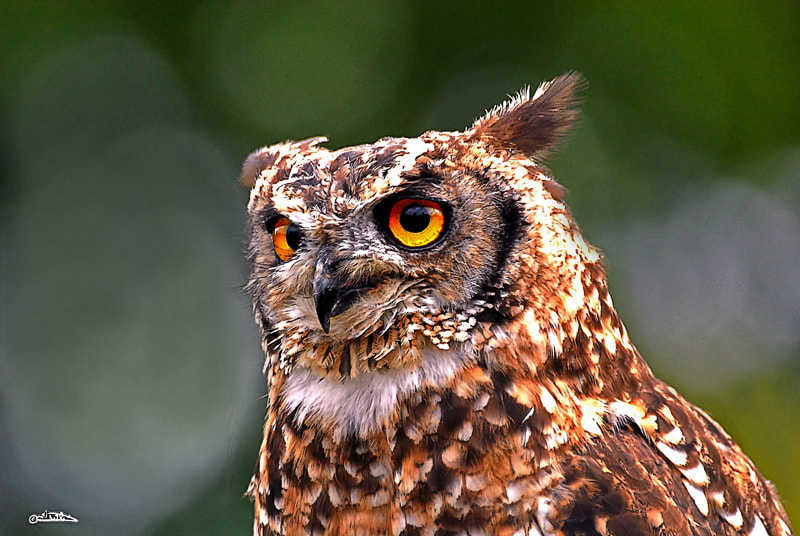 Photograph Eurasian Eagle-Owl  by Israel Weiss on 500px