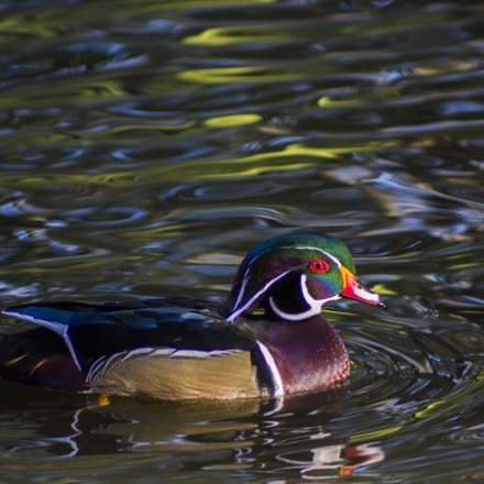 Wood Duck, Canon EOS REBEL T5, Canon EF 75-300mm f/4-5.6 USM