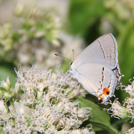 White M hairstreak butterfly, Canon EOS REBEL T3I, Canon EF-S 18-135mm f/3.5-5.6 IS