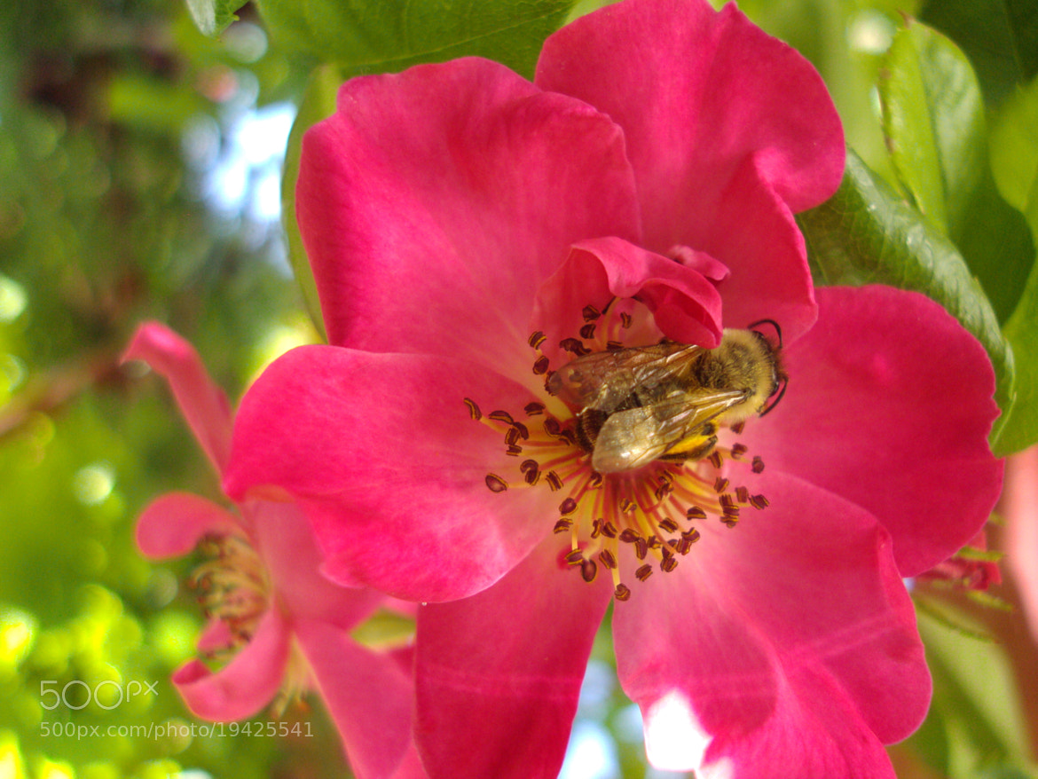 Photograph rose & bee by Hasan Basri on 500px