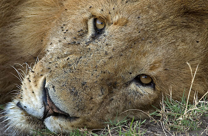 This was taken in the Masai Mara on one of our trips to Kenya.  I was mesmerized by this ones eyes.