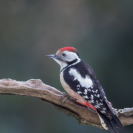 Middle spotted woodpecker, Canon EOS 5D MARK III, Canon EF 500mm f/4L IS