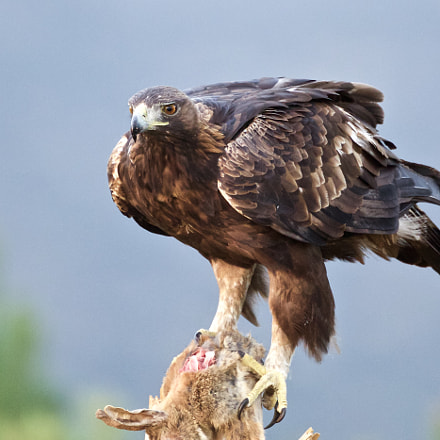 Golden eagle, Canon EOS 5D MARK III, Canon EF 500mm f/4L IS
