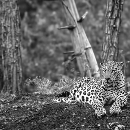 Leopard, Canon EOS 5D MARK III, Canon EF 400mm f/2.8L IS II USM