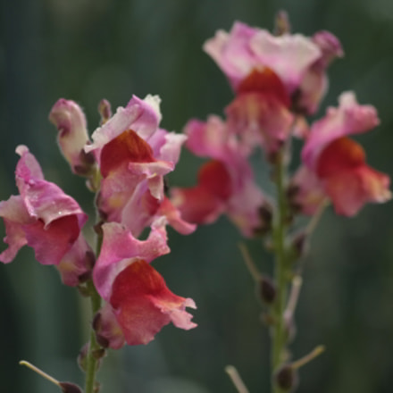 Snapdragons, Canon EOS 40D, Sigma 50-200mm f/4-5.6 DC OS HSM