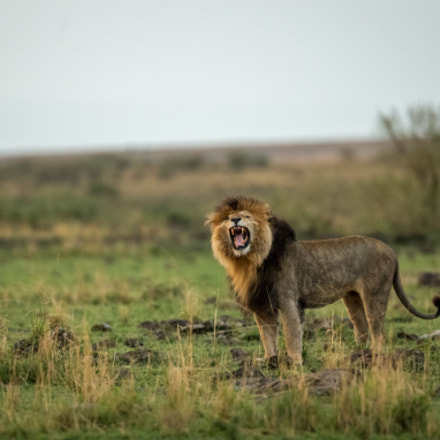 ROARING SCAR, Canon EOS-1D X, Canon EF 500mm f/4L IS