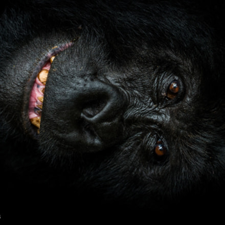 Mountain Gorilla Silverback, photographed, Canon EOS-1D X, Canon EF 200-400mm f/4L IS USM
