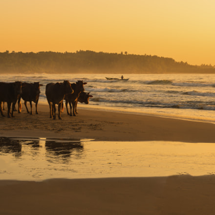 Cattle on Tangalle Beach, Nikon D810, AF-S Nikkor 50mm f/1.8G