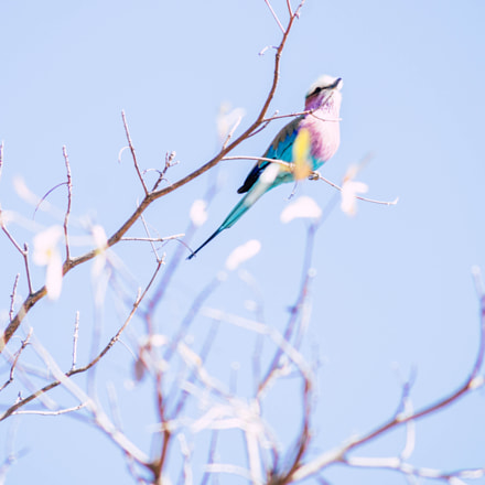 Lilac Breasted Roller, Sony SLT-A58, Tamron AF 55-200mm F4-5.6 Di II LD Macro