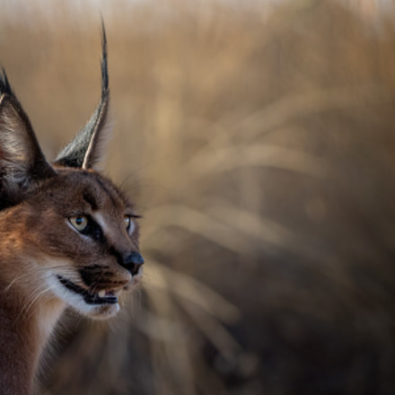 Caracal, Canon EOS-1D X MARK II, Canon EF 100-400mm f/4.5-5.6L IS II USM