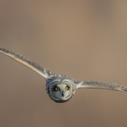 Fly short-eared owl, Canon EOS-1D X MARK II, Canon EF 600mm f/4.0L IS II USM