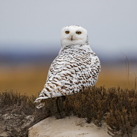 Snowy Owl in New, Canon EOS 7D MARK II