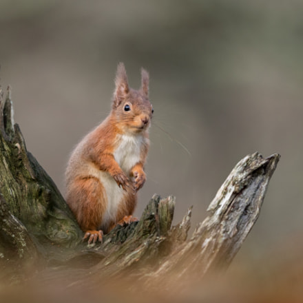 Red Squirrel, Canon EOS-1D X MARK II, Canon EF 500mm f/4L IS II USM