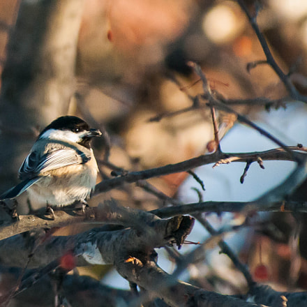 Black capped Chickadee, Nikon D300S, AF Zoom-Nikkor 80-200mm f/2.8 ED